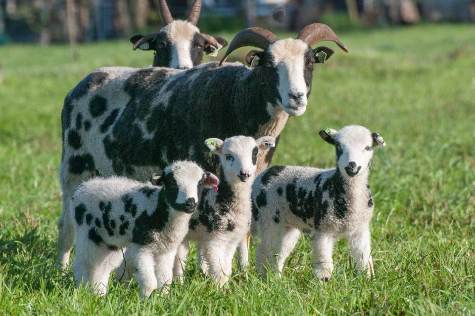 Phép màu ở Israel: Đàn cừu của Gia-cốp trở về 'nhà' sau hơn 2.000 năm